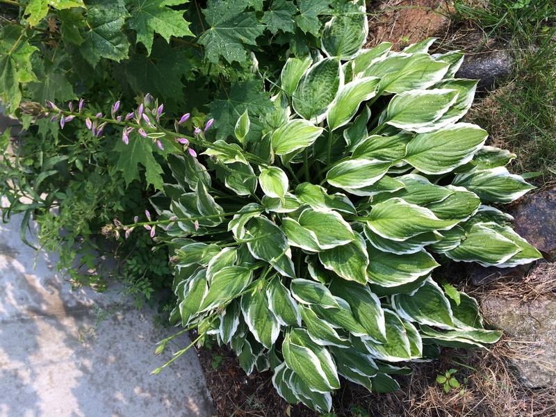 Plants overgrowing hostas-img_0977.jpg