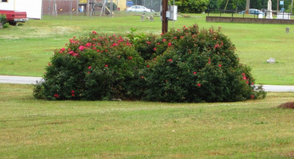 roses question-img_1078a.jpg