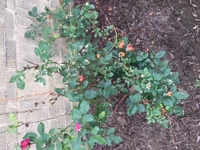 Knockout Roses - Disease?-img_1135.jpg