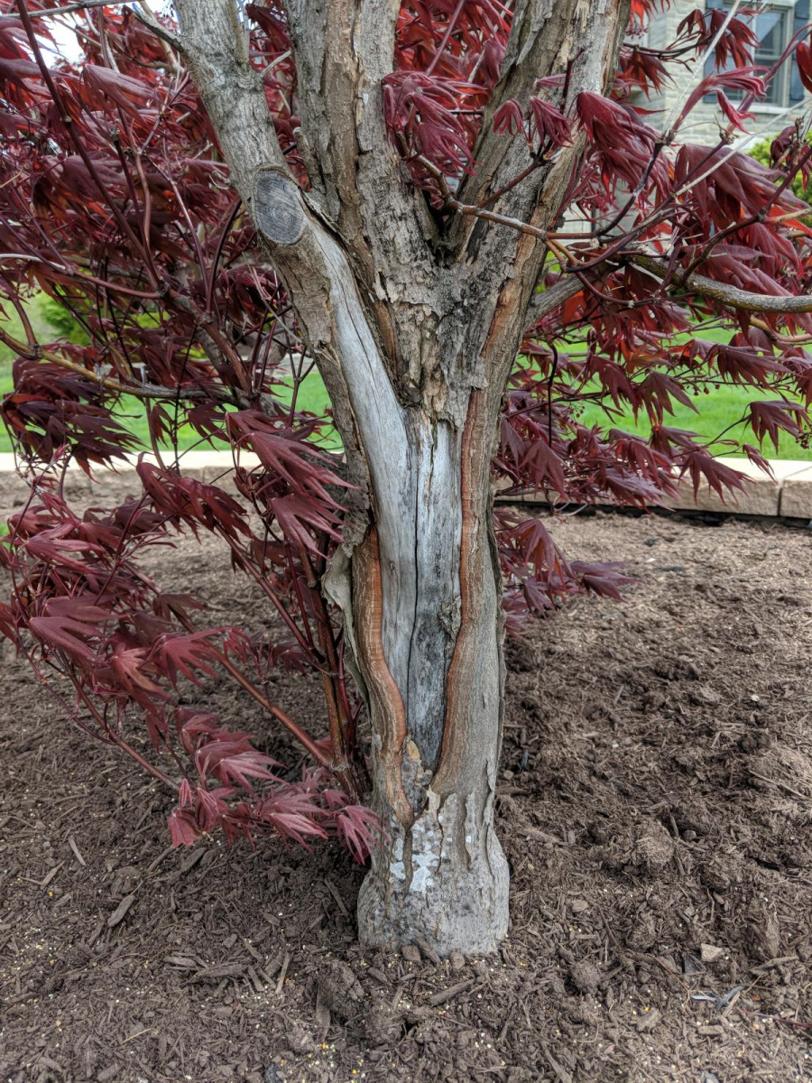 Is my Japanese maple dying?-img_20180514_130339_1526317614170.jpg