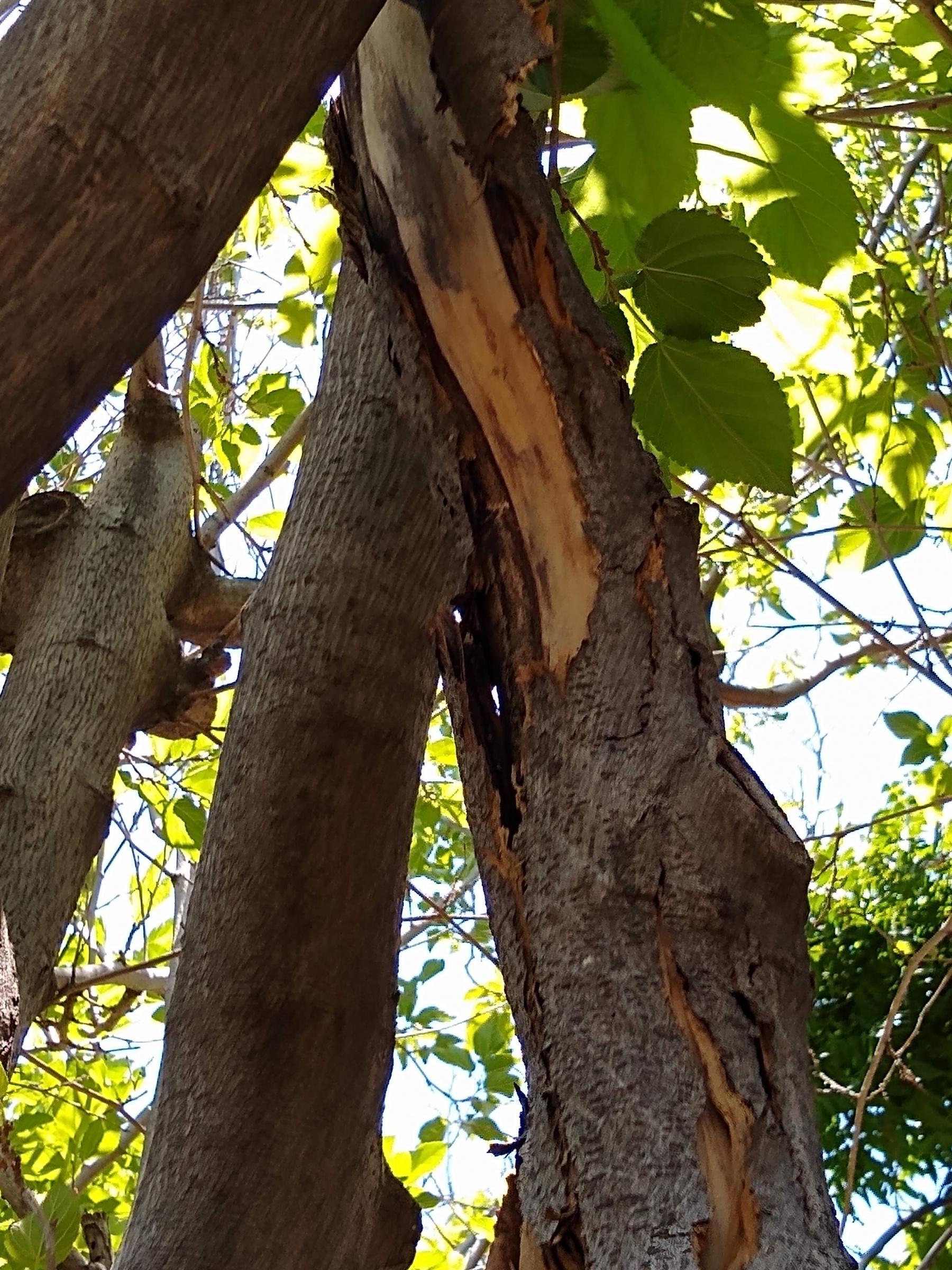 Mulberry tree crack-img_20200611_125104978.jpg