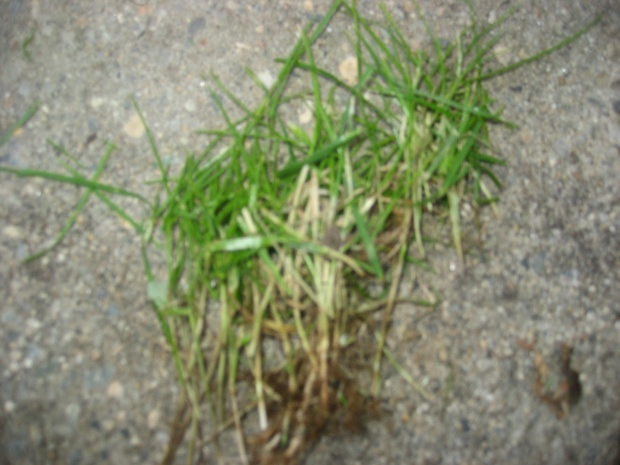 green patches in lawn-img_2206.jpg