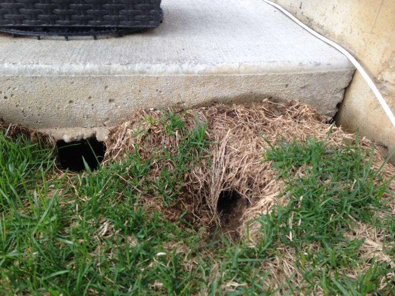 Animal Burrows Under Concrete Patio Concrete Stone