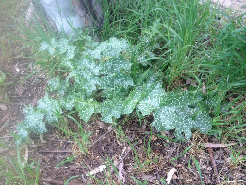 Weed identification-img_4017.jpg