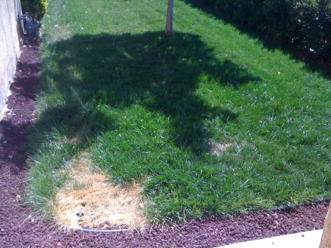 Strange dead patch in my lawn?!?!?-img_4072.jpg