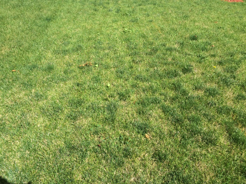 Dark green spots on lawn-img_5167.jpg