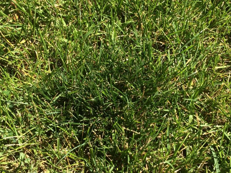 Dark green spots on lawn-img_5169.jpg