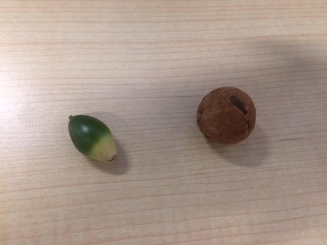 Why my oak tree produce sooooo many acorn-img_8088.jpg