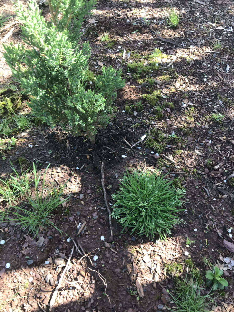 Identify this grass: POA annua or blue grass-img_8595.jpg