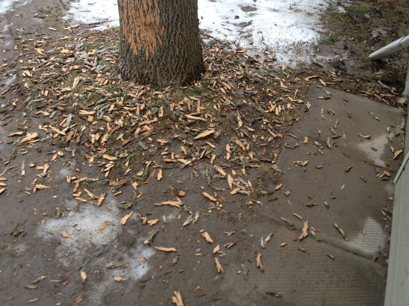 Bark Slices From Ash Tree