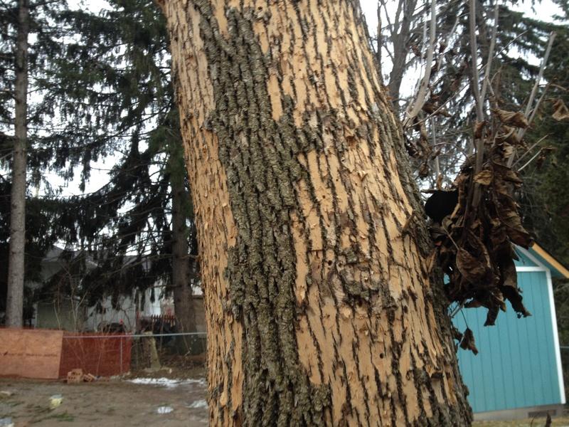 Ash Wood Bark ~ Bark slices from ash tree pest control diy chatroom