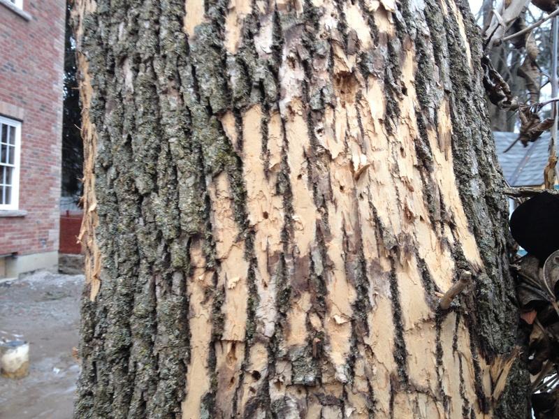 Img 8638 Jpg Bark Slices From Ash Tree 8639
