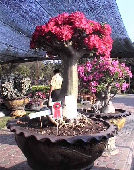 pruning trees...-impara-lily-adenium.jpg