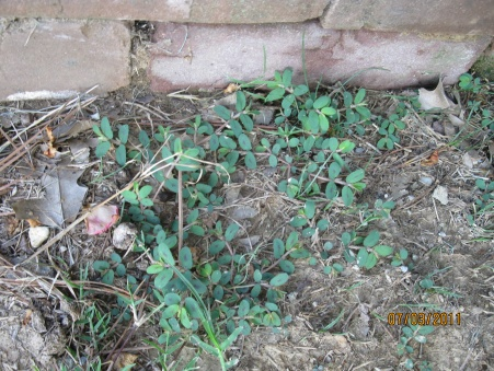 Need help with weed control-july-2011-044.jpg