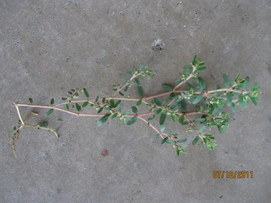 Need help with weed control-july-2011-052.jpg