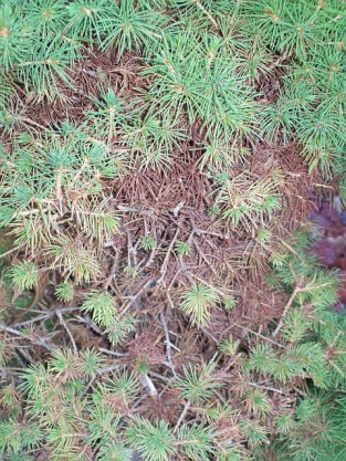 Spider mites!!!  How often can I use Malathion?-juniper0.jpg