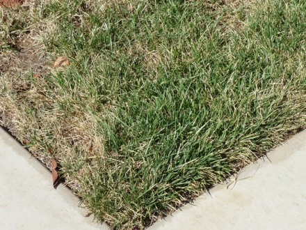 Dying grass needs help-lawn2.jpg