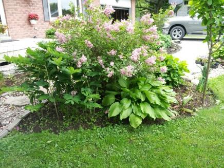 A little garden how-to-lillybush.jpg