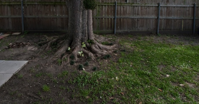 Planting grass under old tree-maglawn-400d3_-6884.jpg