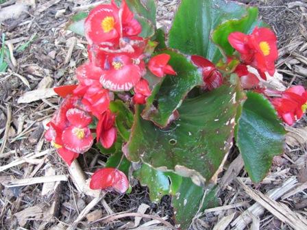 Begonia Mold-may-30-downloads-003.jpg