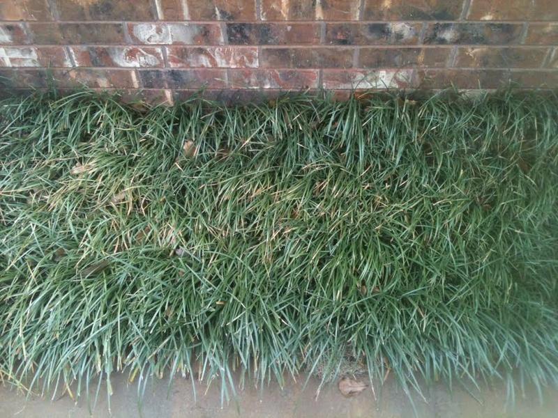 What to do with problem fenceline area?-monkey-grass-3-3-15.jpg