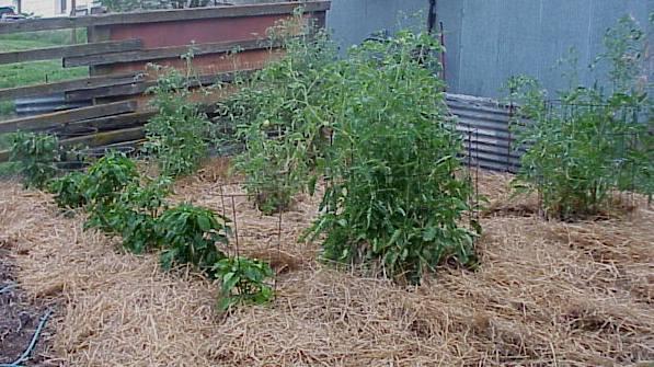 No till gardening-mulched-garden-7-50-6.jpg