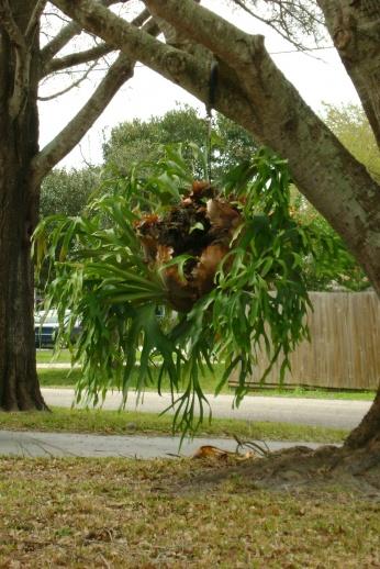 Need help identifying a plant in neighbor's yard-neighbors-plant.jpg