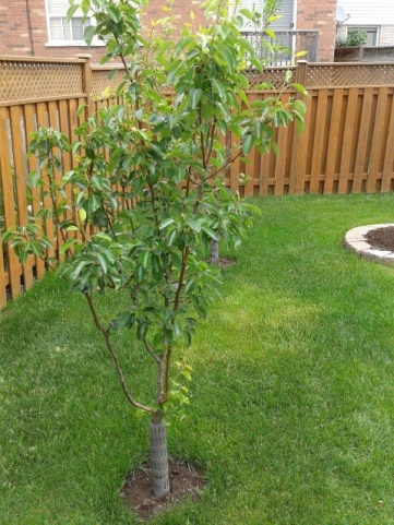 Rodent damaged pear tree :(-new-image.jpg