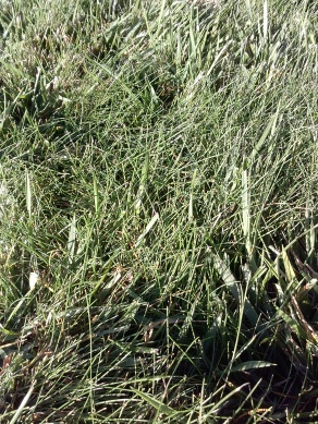 Need help with front lawn-normal-grass.jpg