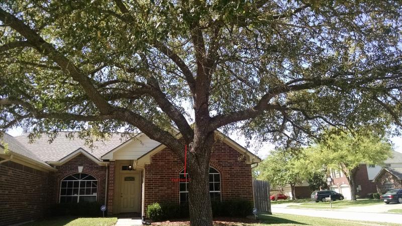 How to trim this oak tree?-oak3.jpg