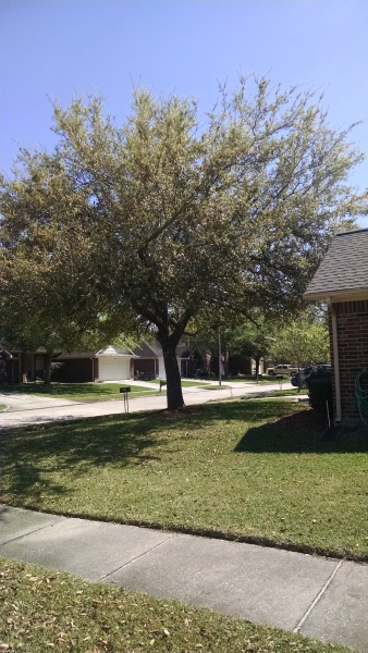 How to trim this oak tree?-oakotherside.jpg