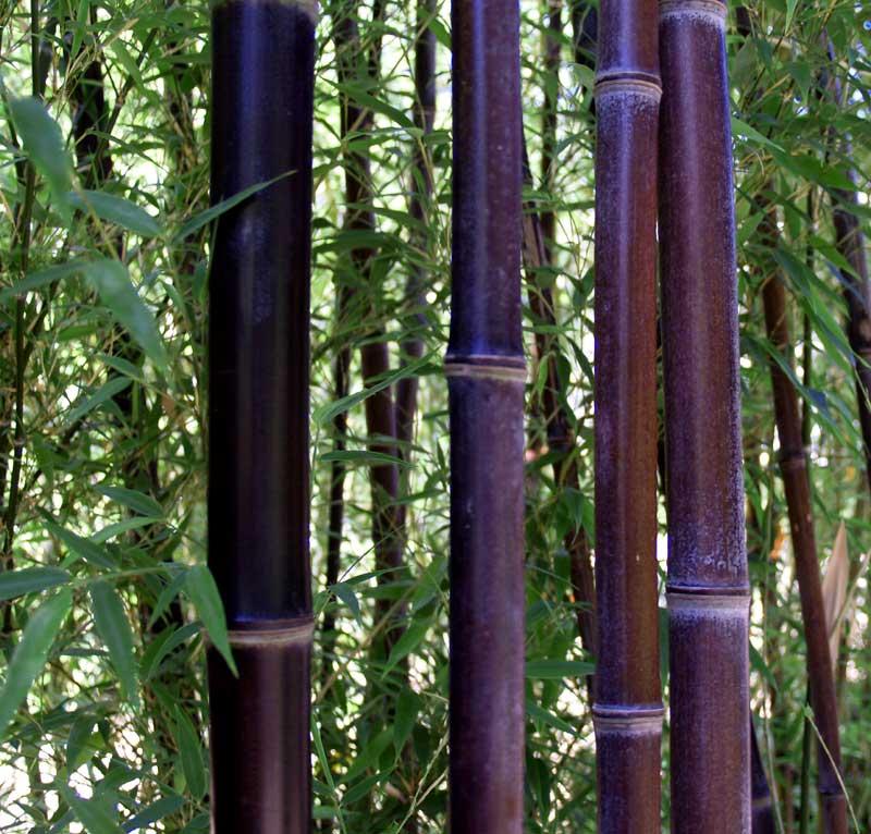 Tall Grasses...-p.-nigra-1.jpg