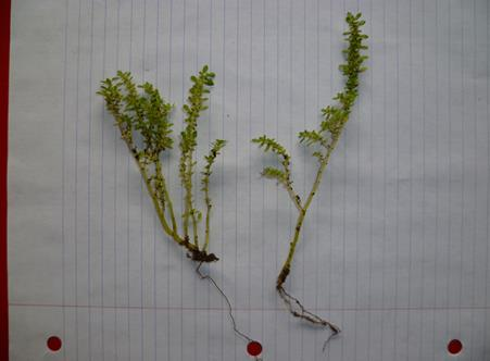 Need help to identify this weed-p1060084.jpg-small-.jpg