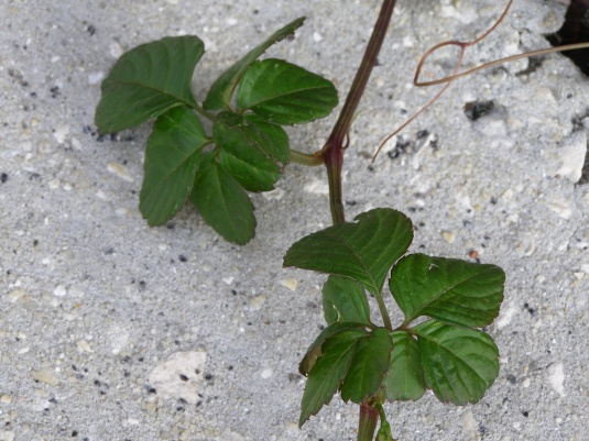 What is this weed?-p3280393.jpg