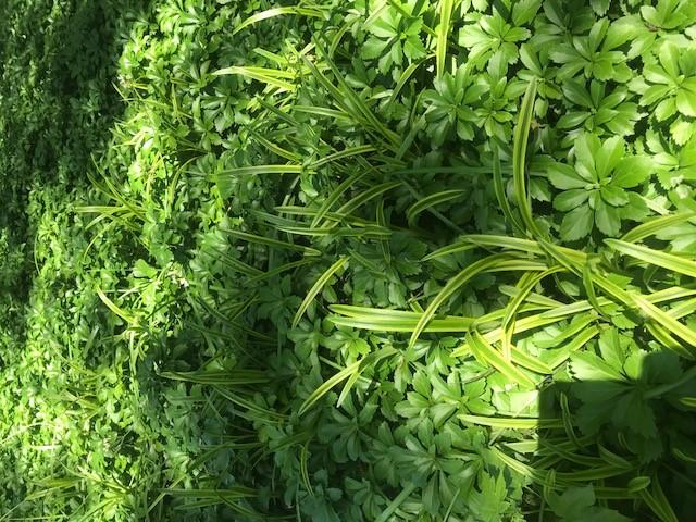 Weeds in Pachysandra-pachysandra_weed_2.jpg