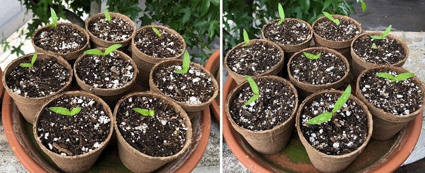 pepper pots (Pimientos)-pepper-pots-05.jpg