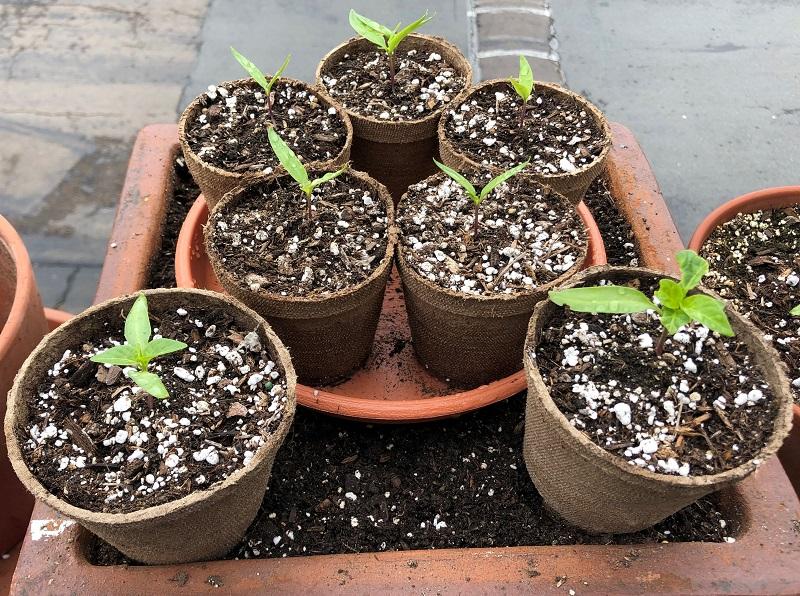 pepper pots (Pimientos)-pepper-pots-06.jpg