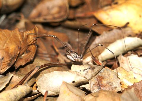 Anybody know this spider?-phalangiid4.jpg