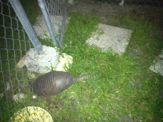 Armadillo problem - Fenced in backyard-photo-1.jpg