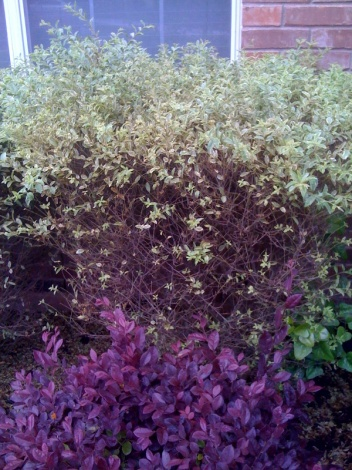 what kind of bush is this and why does it look so bad-photo.jpg