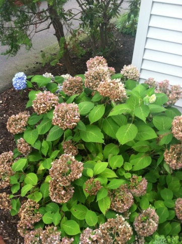 Should I cut the flowers off this bush?-photo2.jpg