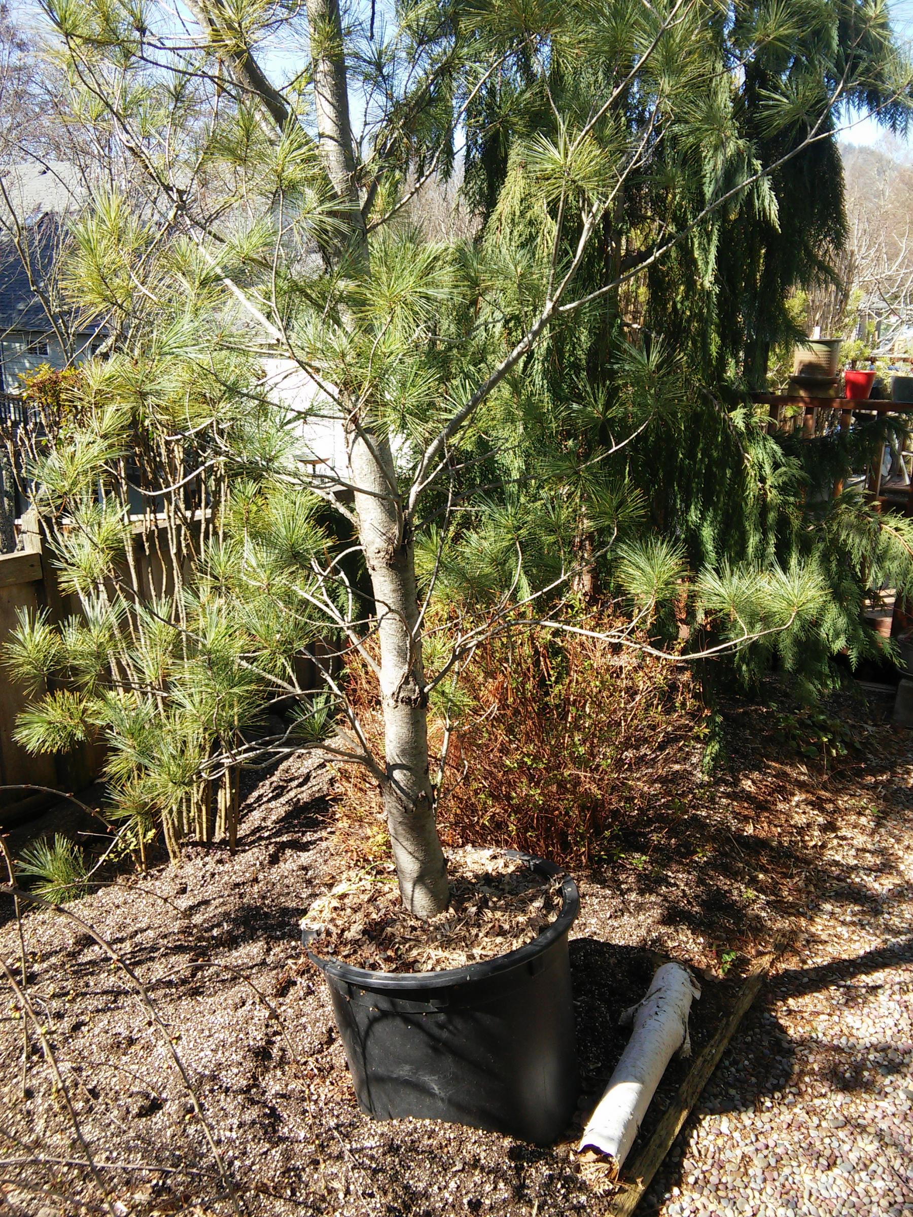 Pine Tree ID Request-pine1.jpg