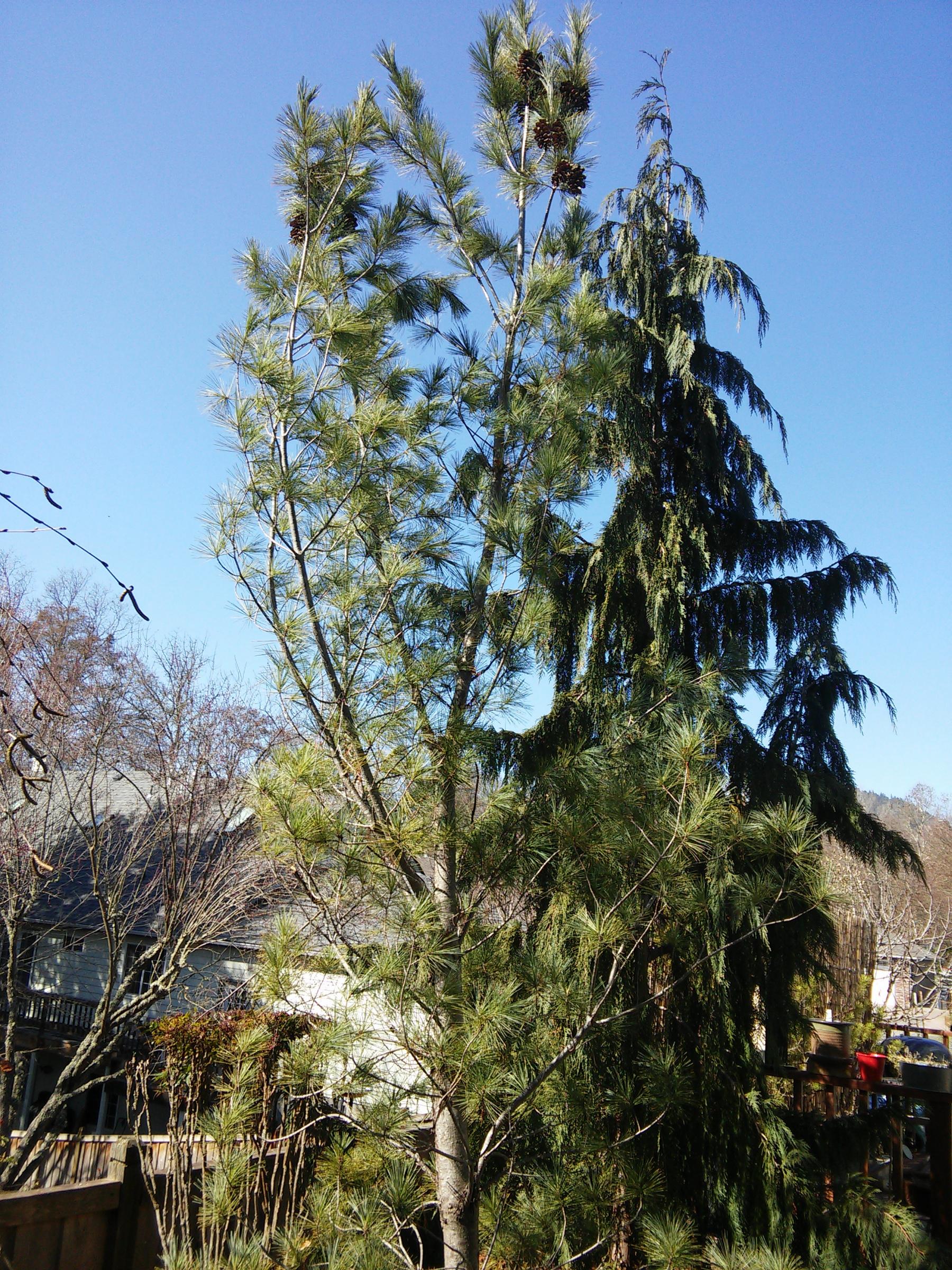 Pine Tree ID Request-pine2.jpg