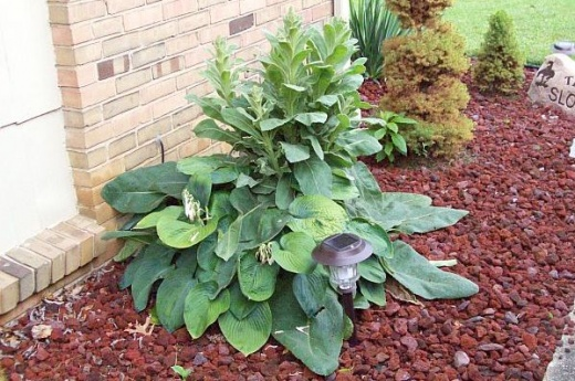 What is this fuzzy plant?-plantjune.jpg