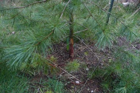 Ponderosa Pine parasite problem-ponderosa1.jpg