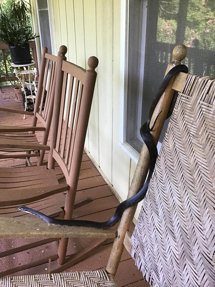 Catching a snake-rat-snake2.jpg