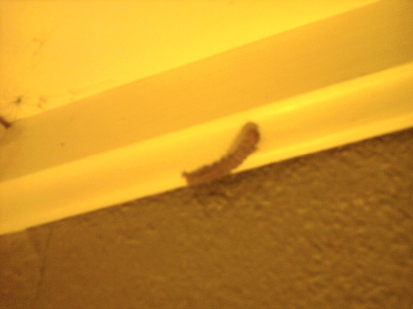 Caterpillars in my house! How do I get rid of them?-richard-cell-033.jpg