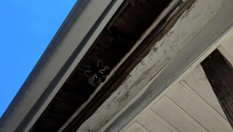 Raccoon family settled inside chimney-rocky.jpg