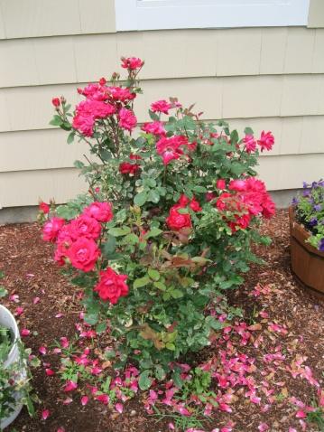 Knockout Rose Leaf Troubles-roses-001.jpg