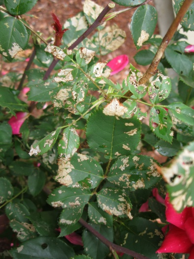 Knockout Rose Leaf Troubles-roses-002.jpg